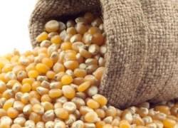 Inscrições para o Troca-Troca de milho em Bento abrem dia 21