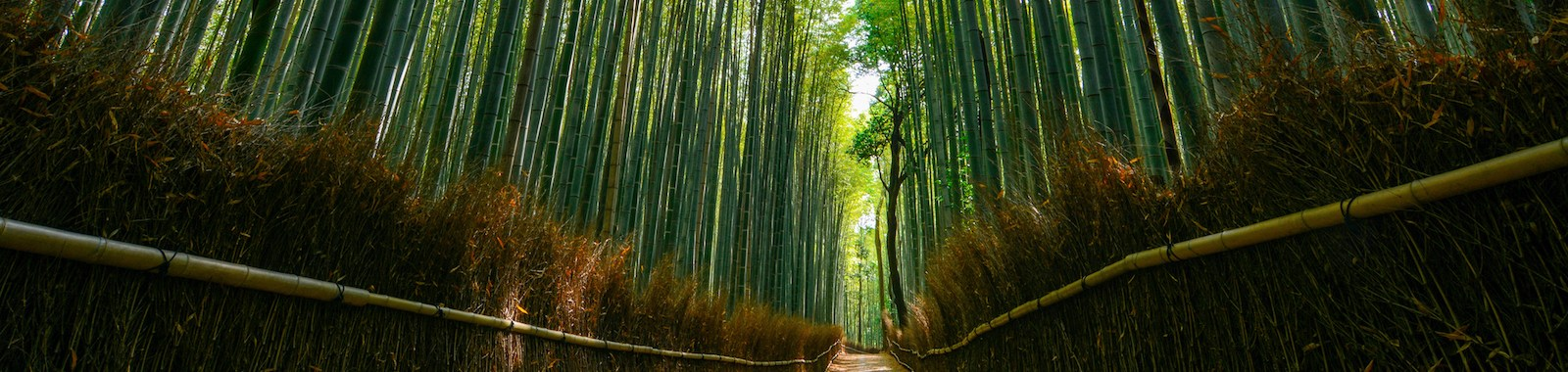 Faint daylight illuminating the beautiful forest of huge bamboo in the Arashiyama area of Kyoto, Japan.