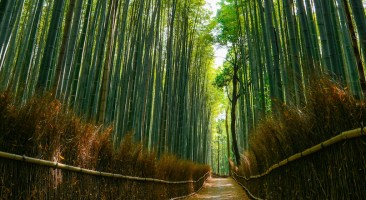 Faint daylight illuminating the beautiful forest of huge bamboo in the Arashiyama area of Kyoto, Japan.