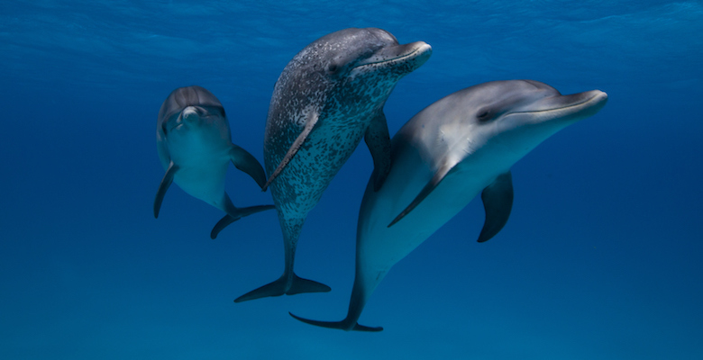 Atlantic Spotted Dolphins in Bahamas beautiful pic on underwater.