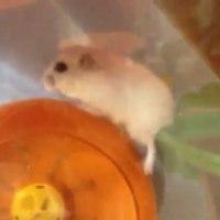 hamster-strange-wheel-play