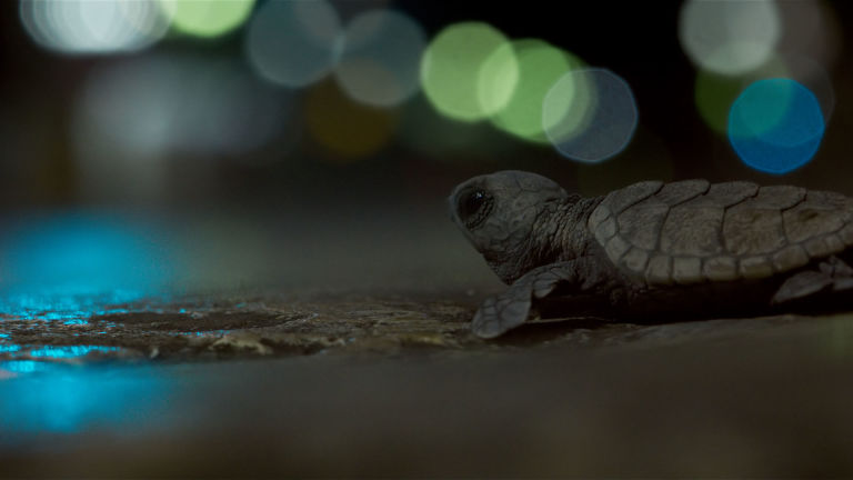 Turtle hatchlings in Planet Earth II Cities