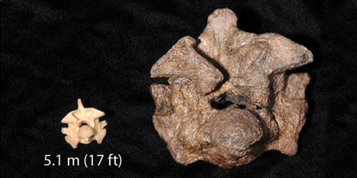 an Anaconda vertebrae next to Snakeasaurus vertebrae.jpg