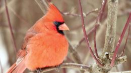 A male northern cardinal perches on a tree branch. (Photo by Jeffrey Hall)