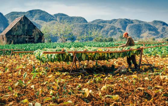 tobacco farming in cuba