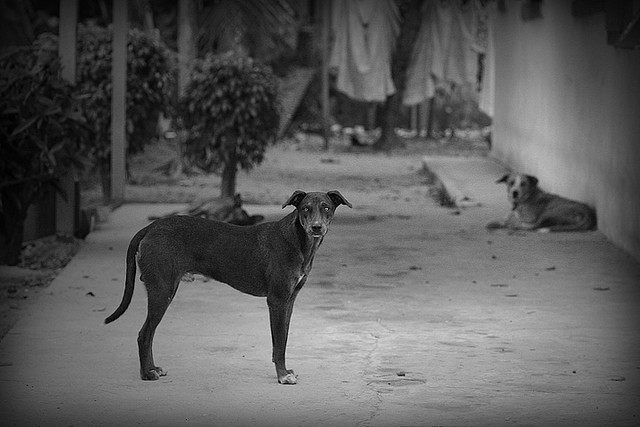 Chased by Stray Dogs in Tobago