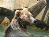 Grizzly bear playing in the water at the Milwaukee Zoo, taken with Canon S100 travel camera