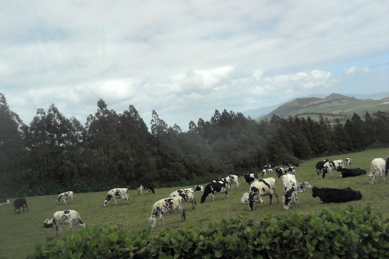 Cows on the mountainside in Sao Miguel, The Azores, Portugal