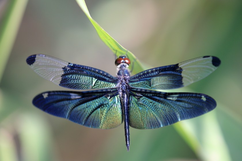 dragonfly - animals with unique eyes