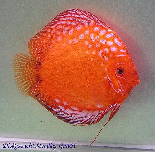 Contact Discus Hans USA   Discus Fish Sales USA