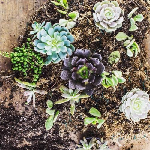 instagram-succulents