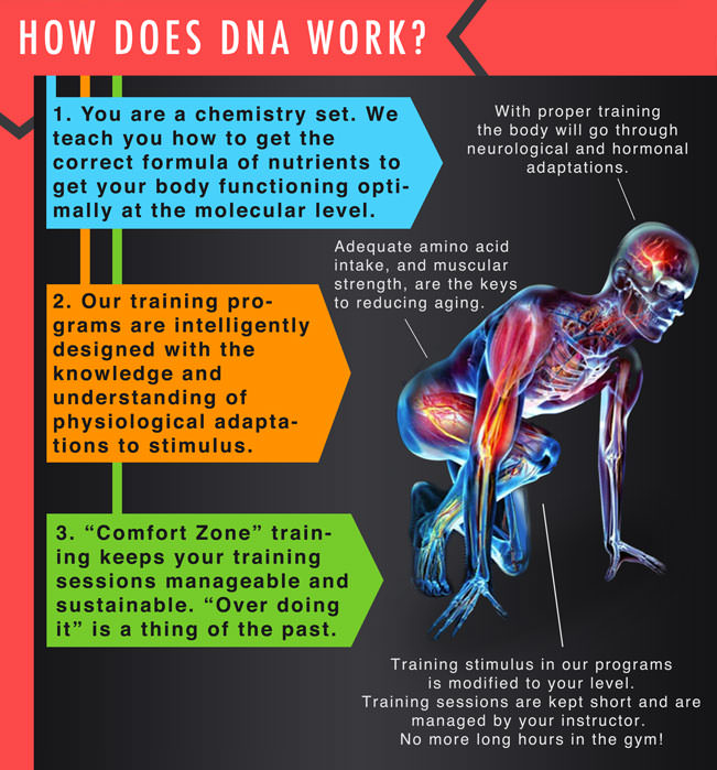 "How does DNA work? You are a chemistry set. We teach you how to get the correct formula of nutrients to get your body functioning optimally at the cellular level. With proper training the body will go through neurological and hormonal adaptations. Our training programs are intelligently designed with the knowledge and understanding of physiological adaptations to stimulus. Adequate amino acid intake, and muscular strength maintenance, are just some of the keys to reduce the aging process. ""Comfort Zone"" training keeps your training sessions manageable and sustainable. ""Over doing it"" is a thing of the past. No more long hours in the gym!"