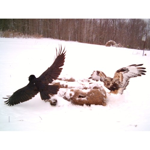 Medium Crop Of Eagle Vs Hawk