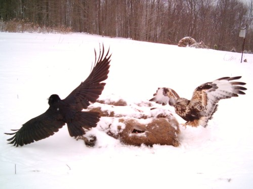 Medium Of Eagle Vs Hawk