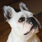 Show Quality French Bulldogs