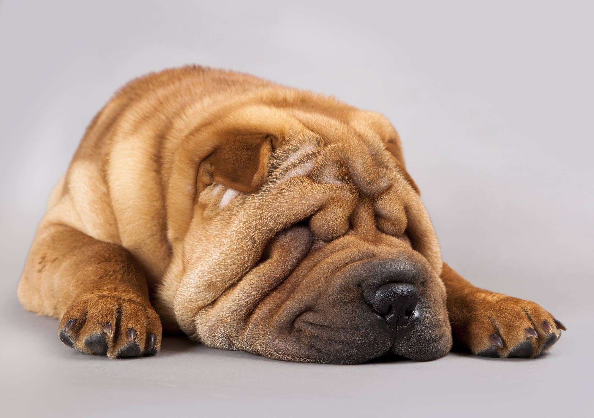 Fullsize Of Miniature Shar Pei