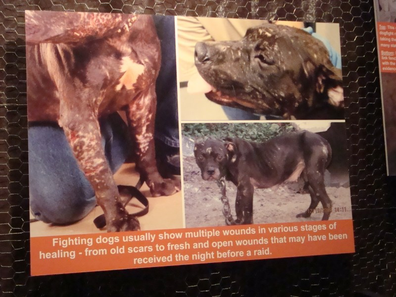 Large Of Dog Fighting Videos