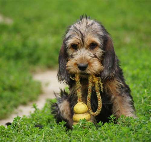Otterhound Puppy - Dog...