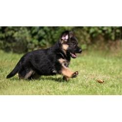 Small Crop Of Cute German Shepherd Puppies