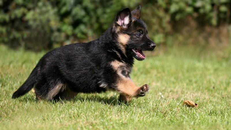 Large Of Cute German Shepherd Puppies