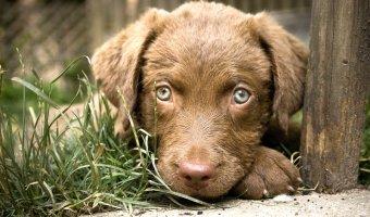 Chesapeake Bay Retriever Puppies