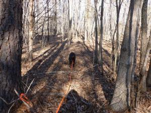 tracking with a Coon Hound through the woods