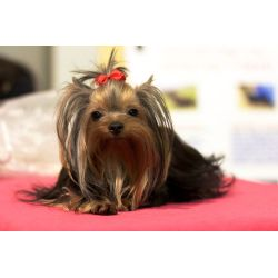 Small Crop Of How To Groom A Yorkie