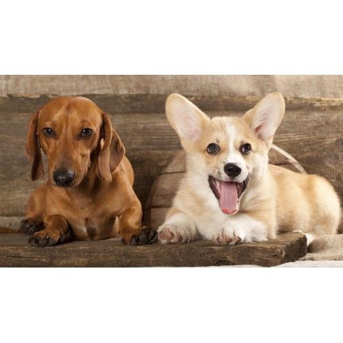 Medium Crop Of Corgi Mix Puppies For Sale