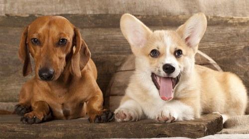 Medium Of Corgi Mix Puppies For Sale