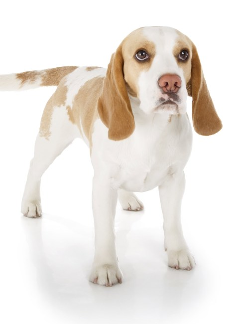 Medium Of Do Beagles Shed