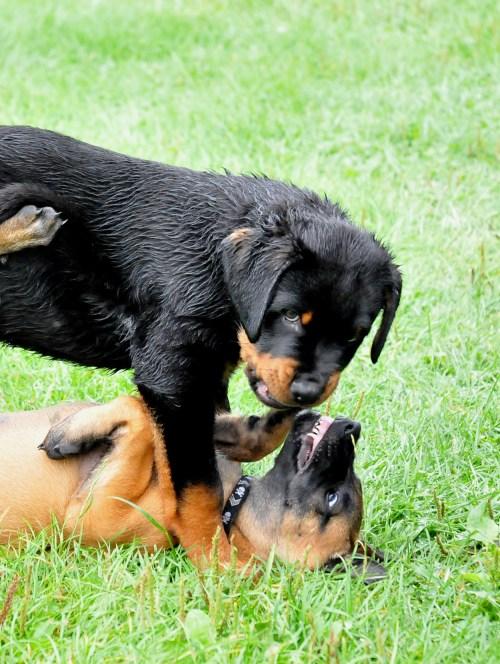 Medium Of Rottweiler Corgi Mix