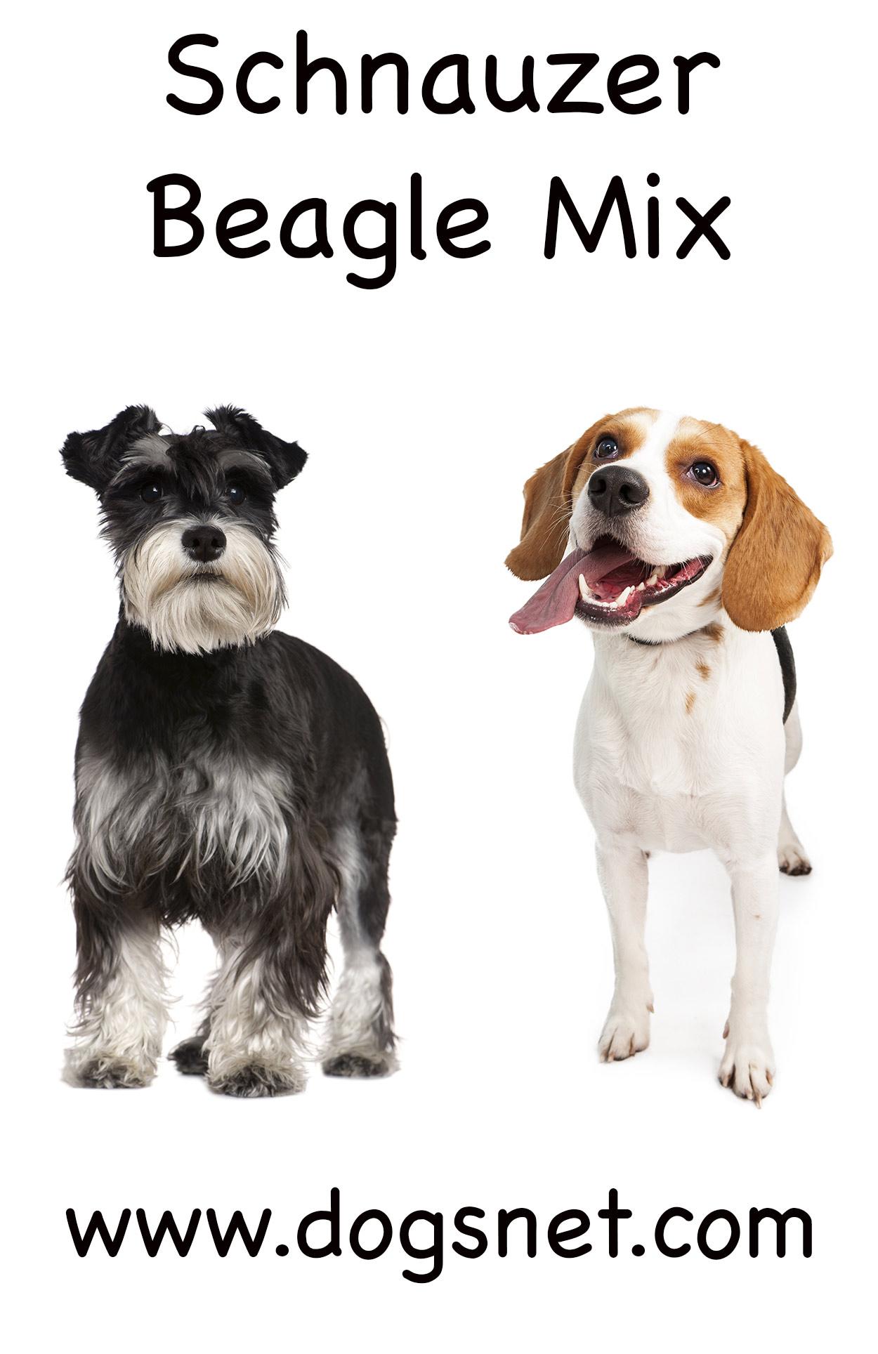 Gorgeous A Mix Miniature Schnauzer Se Two Breeds Could Result Eir Orsomething Between Schnauzer Beagle Mix Mix Traits Beagle bark post Beagle Corgi Mix