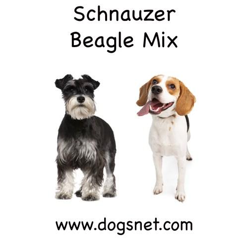 Medium Crop Of Beagle Corgi Mix