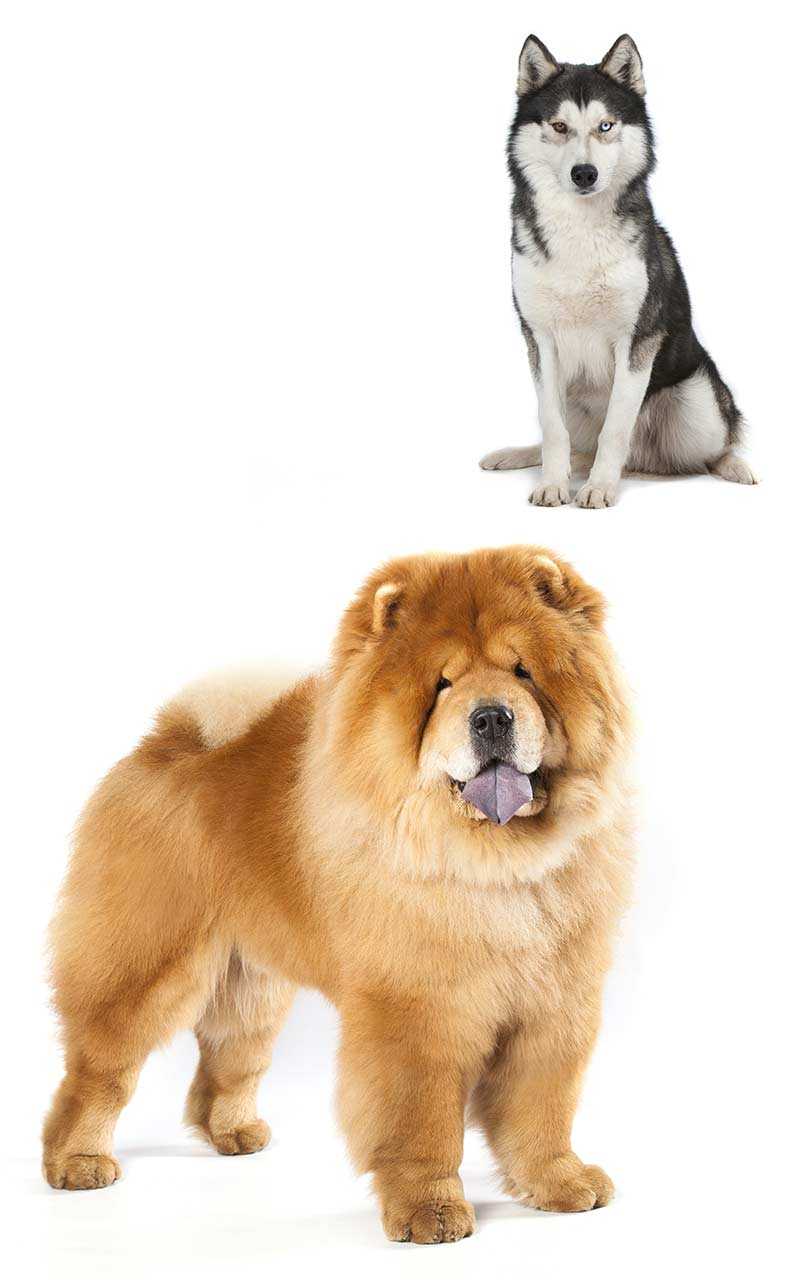 Fascinating Buying Chusky Only Buy A Chow Husky Mix Chusky Is Chow Chow Husky Mix Your New Husky Chow Mix Full Grown Chow Husky Mix Puppies Sale Ohio bark post Chow Husky Mix