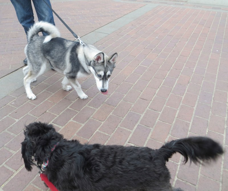 Large Of Poodle Husky Mix