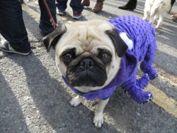 Beautiful Costume Gif Pug A Purple Ocus Costume Looking Sad I Why Are You Laughing At Dogs A Pug San Pug Seal Costume
