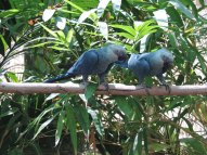 An adult pair of Spix's macaw.