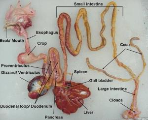 digestive-organ-of-chicken