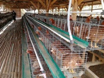 analisa usaha ternak ayam petelur skala kecil