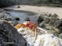 Kepiting di pantai Kayu Arum
