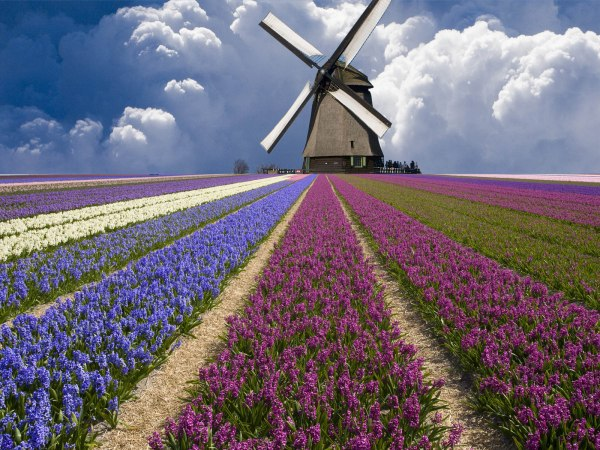 Netherlands Flower Fields Wallpapers and Photos 03