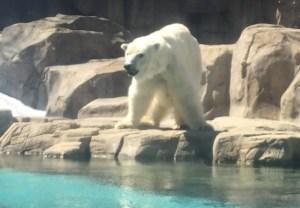 王子動物園のホッキョクグマ