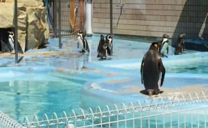 王子動物園のペンギン
