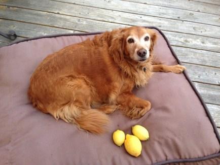 golden retriever lemons