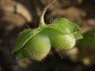 オオイヌノフグリの画像 p1_10