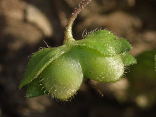 オオイヌノフグリの画像 p1_16
