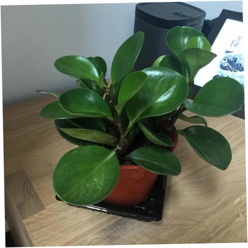 Medium Of Baby Rubber Plant
