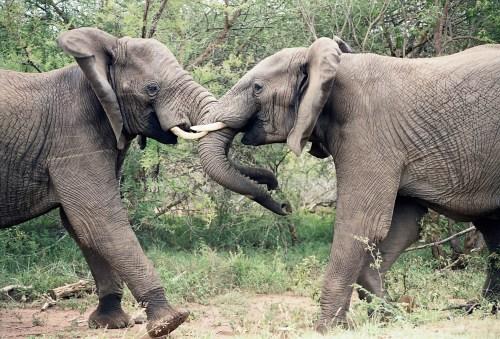 elephants-1355424
