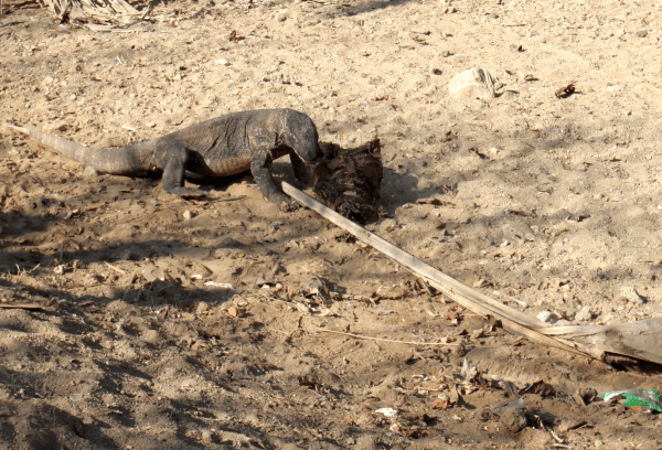 Komodo dragon eating fresh deer ribcage, the last remnant of the morning kill. Notice plastic in foreground.