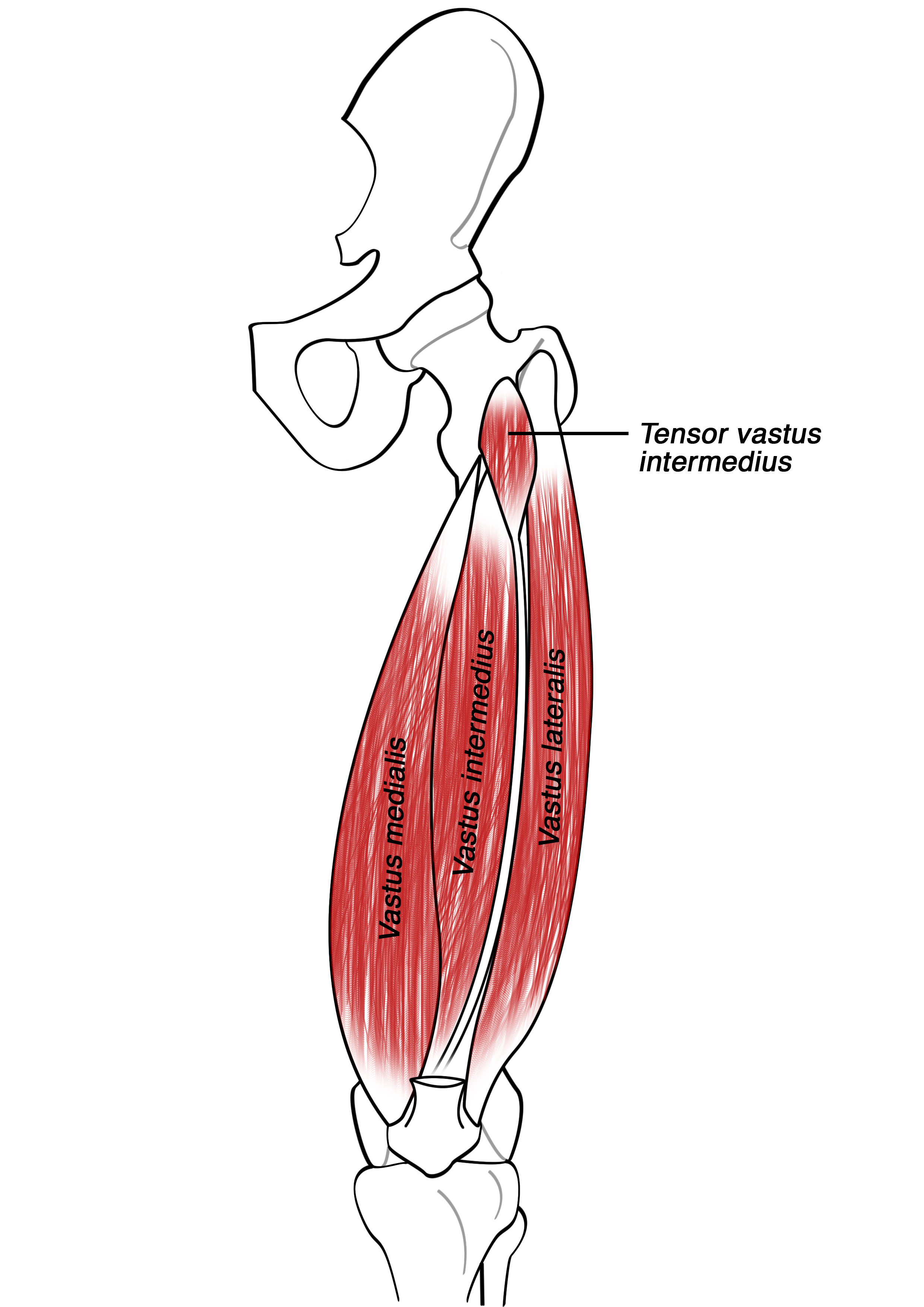 Human Muscle Anatomy Quiz  Sporcle